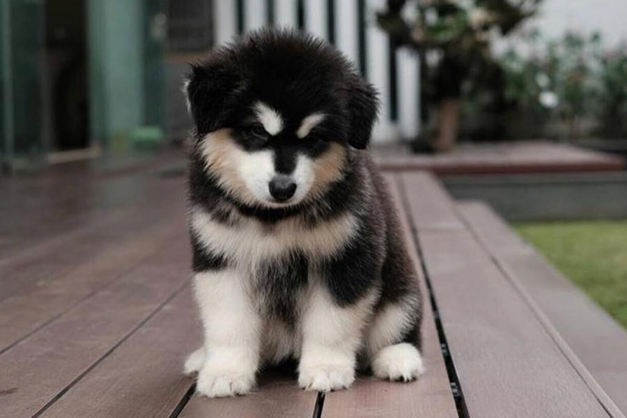 Alaskan Malamute puppy (Photo: @puffywolfpack / Instagram)