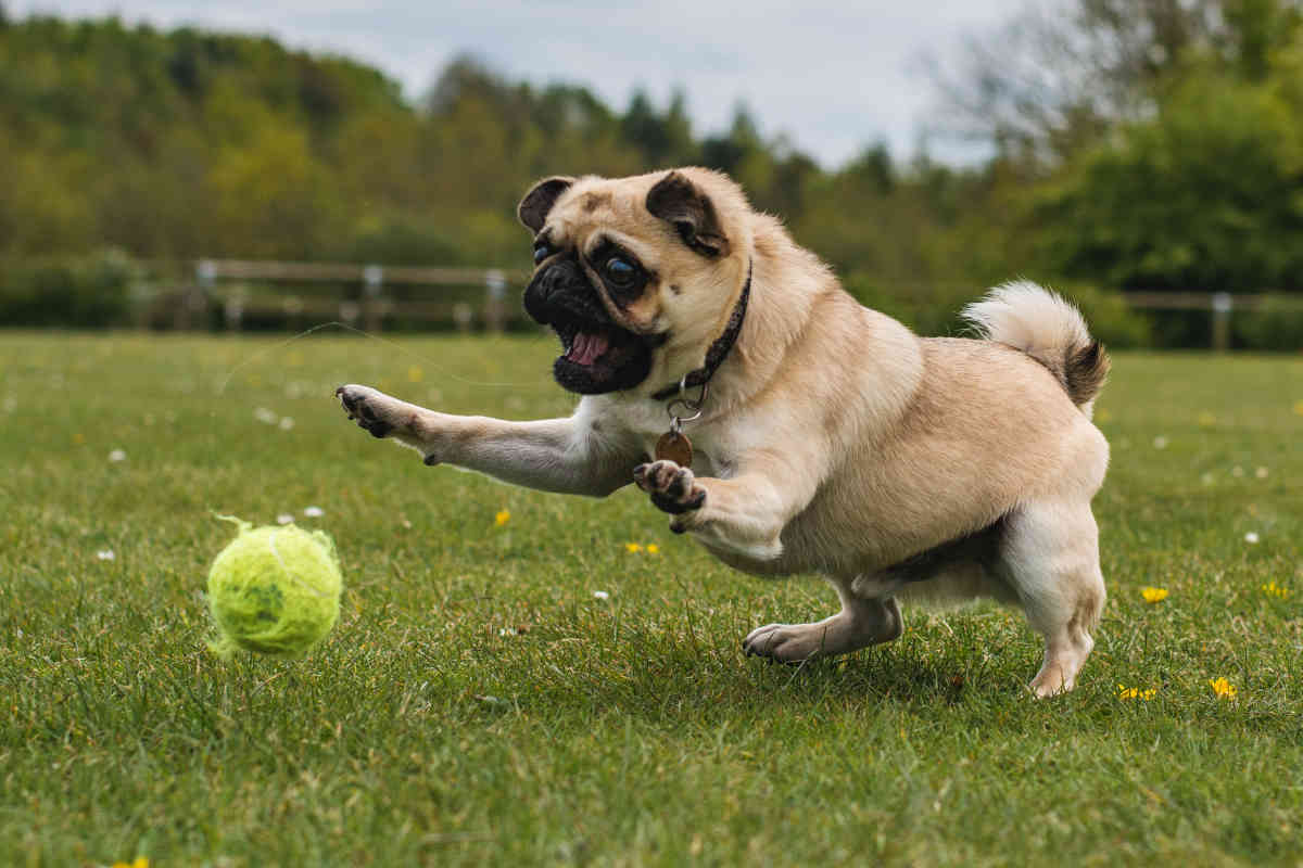 Pug plays fetch with tennis ball (Photo: Adobe Stock)