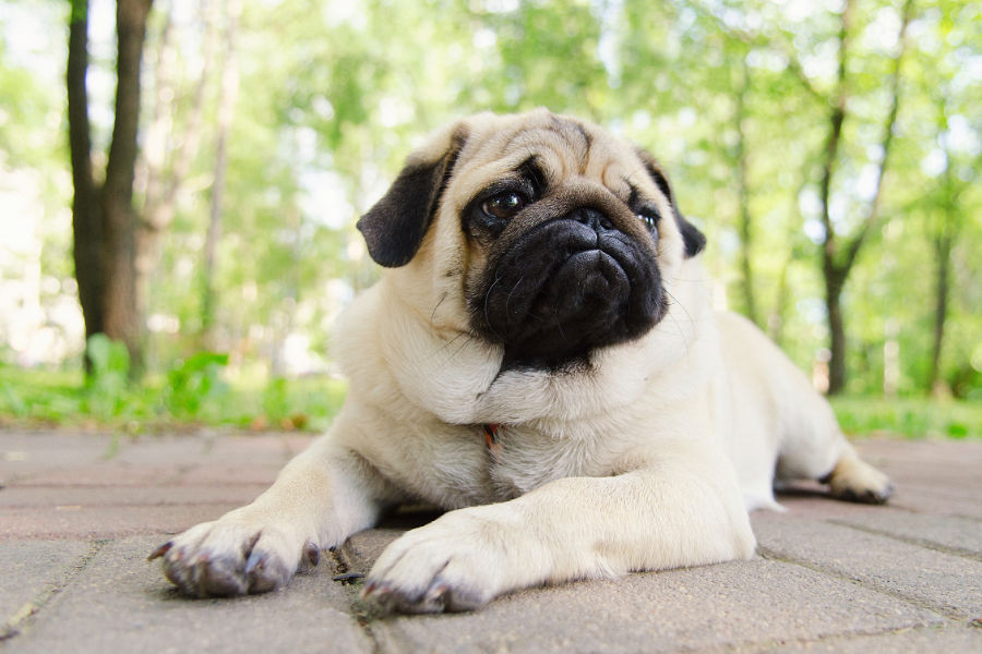 Fawn Pug stretches (Photo: Adobe Stock)