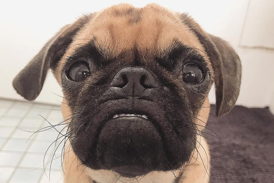 2Pug West the Pugalier (Photo: 2pug.and.lara / Instagram)