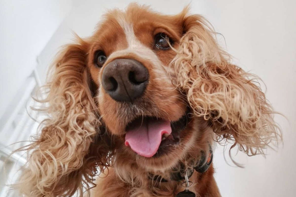 Rolo the Cocker Spaniel (Photo: rolo.cockerspaniel / Instagram)