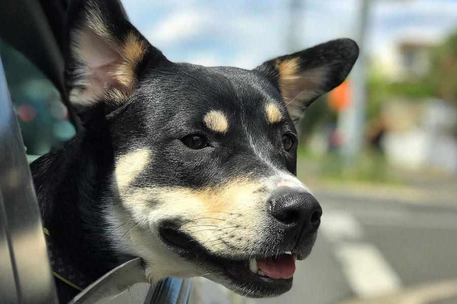 Rottweiler Husky mix Hershey (Photo: beargirlhershey / Instagram)