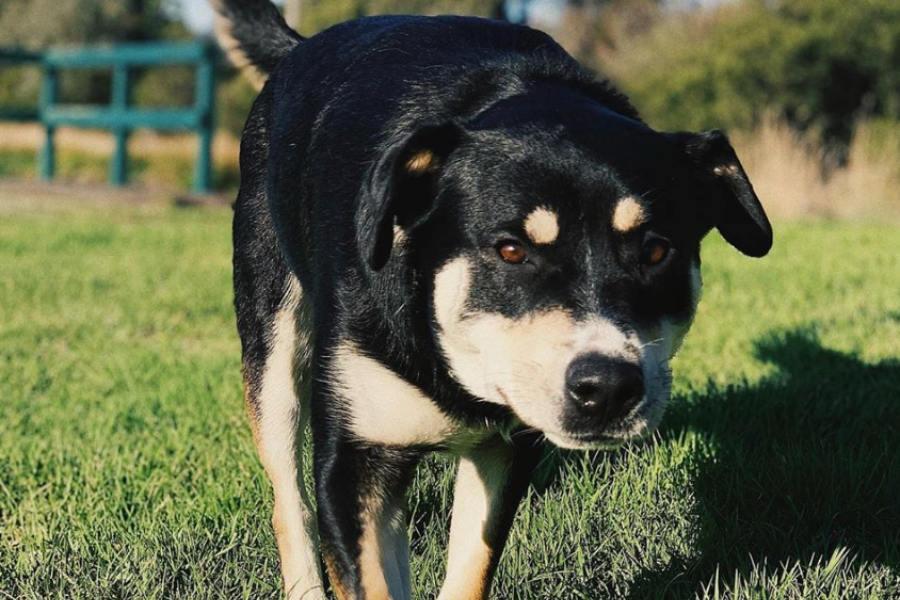 Rottweiler Husky mix | Size | Temperament | Shedding | Exercise | Price