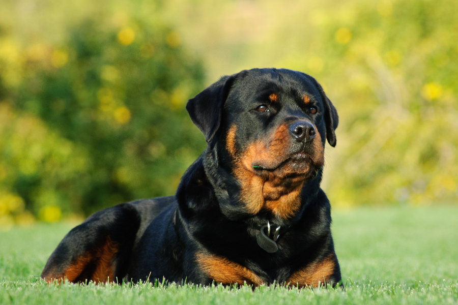 Rottweiler (Photo: Adobe Stock)