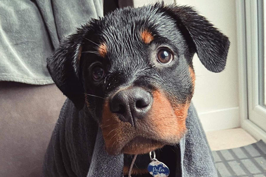 Lola the Rottweiler (Photo: ourgirllola_ / Instagram)