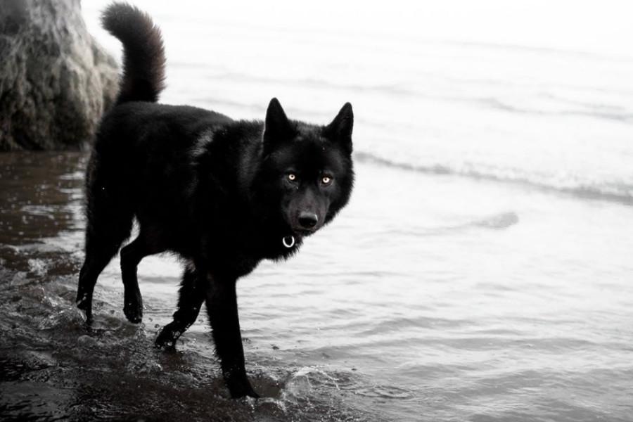 Saaya the Wolfdog (Photo: saayawulf / Instagram)