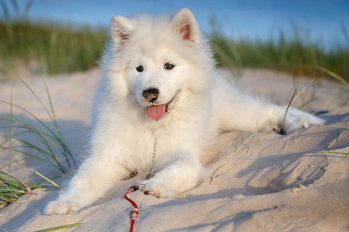 Samoyed at the beach (Photo: Adobe Stock)