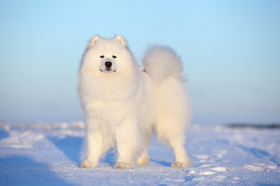 Samoyed dogs originate from north western Russia (Photo: Adobe Stock)