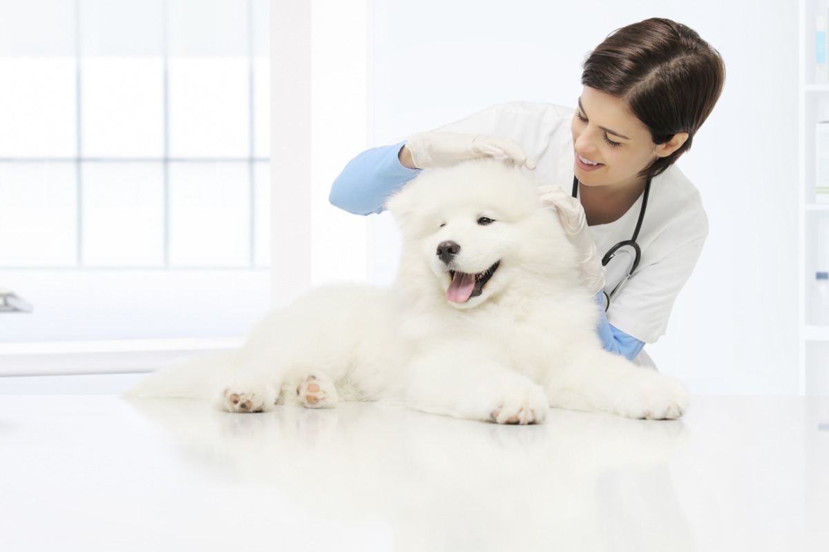 Samoyed at the vet (Photo: Adobe Stock)
