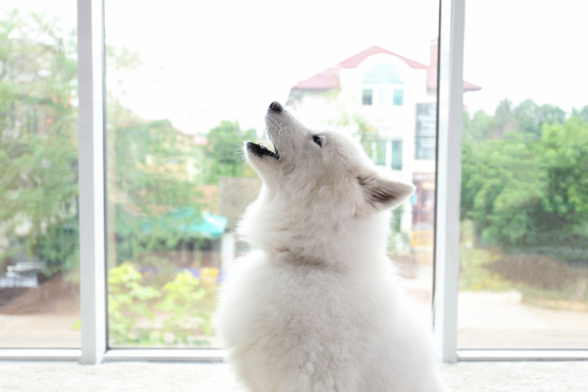 Samoyed dog howling at the window (Photo: Adobe Stock)