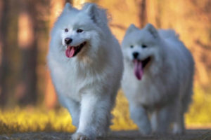 Isla and Finley the Samoyeds interview