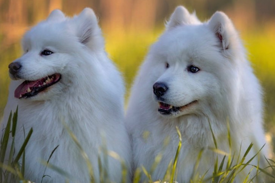 Samoyeds Finley and Isla (Photo: @isla.and.finley.samoyed)