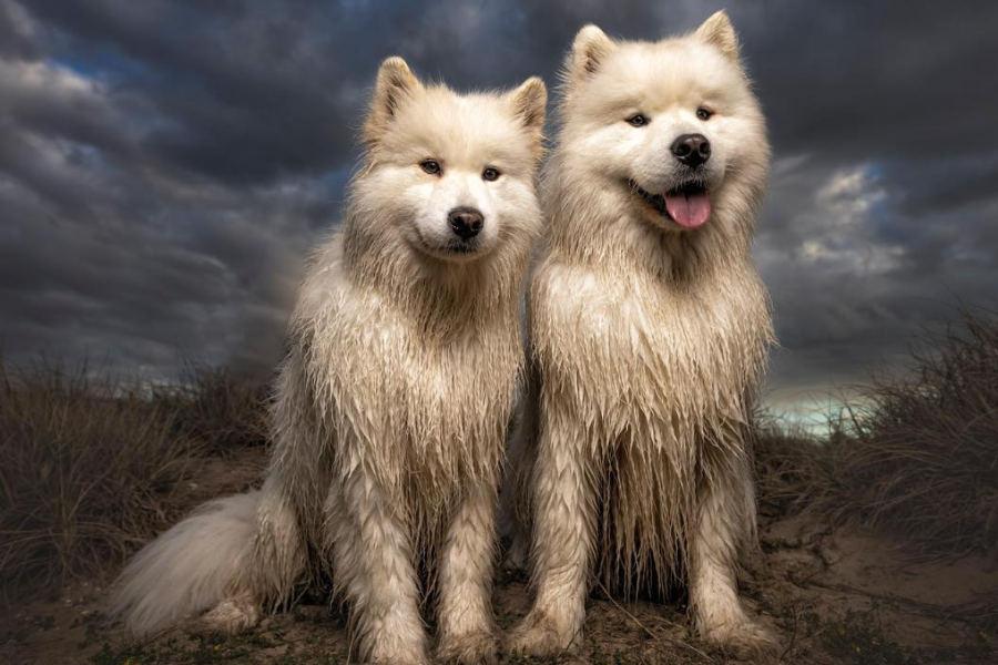 Samoyeds Finley and Isla (Photo: @isla.and.finley.samoyed)