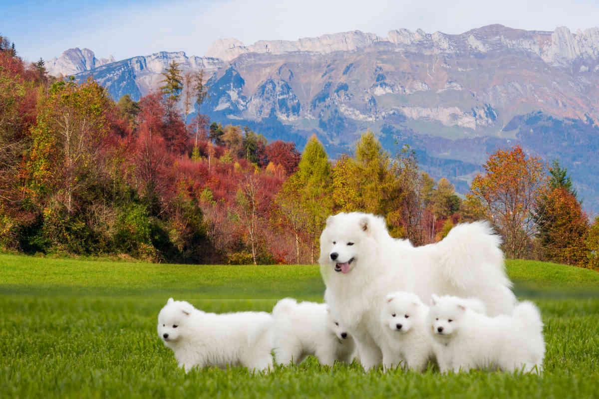 Samoyed and her puppies (Photo: Adobe Stock)