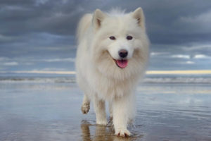 Samoyed Pros And Cons
