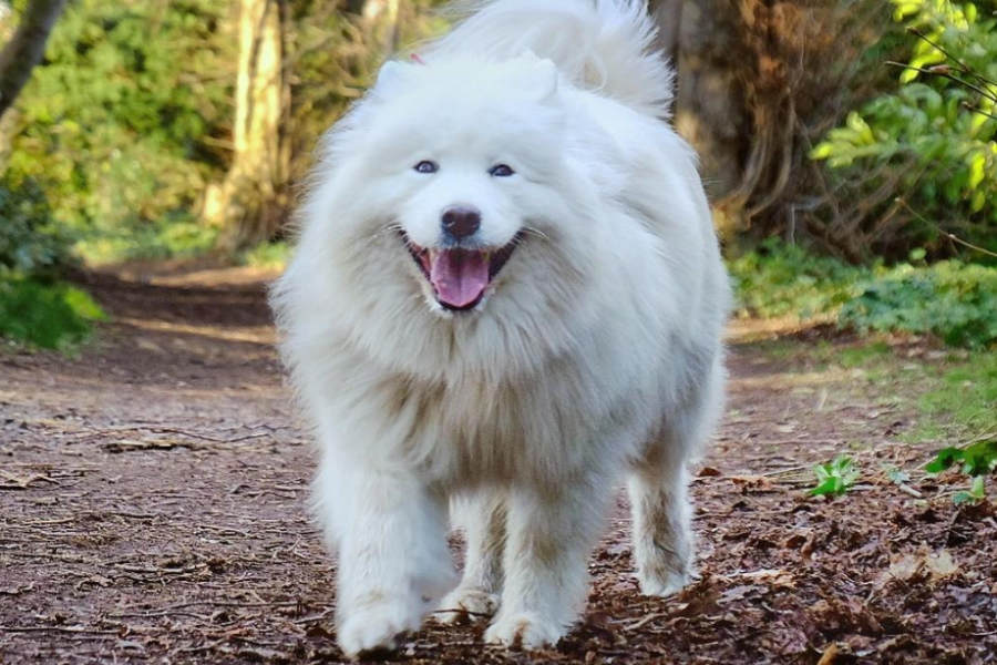 Sally the Samoyed (Photo: @scotlandwithfluffywolf)
