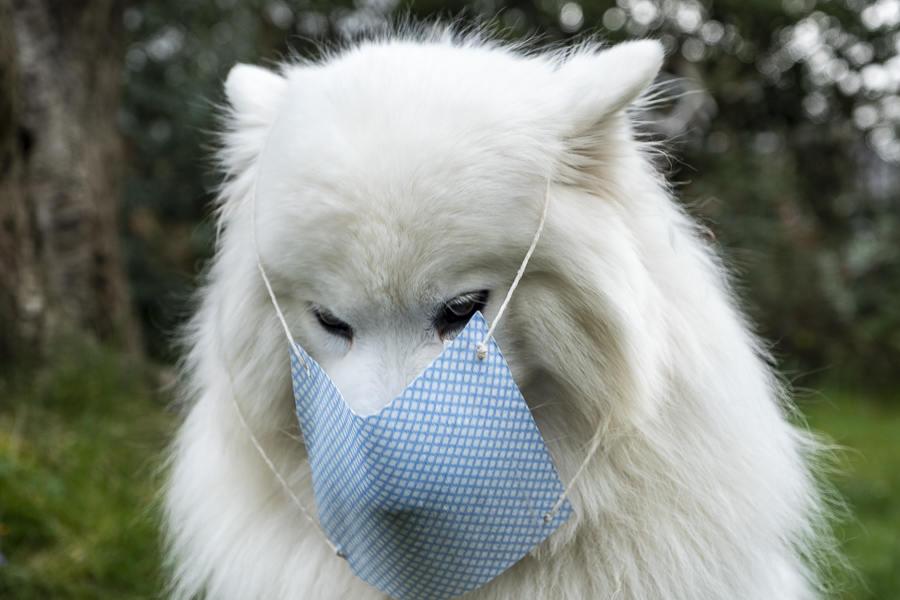 Sally the Samoyed wearing her mask (Photo: @scotlandwithfluffywolf / Instagram)