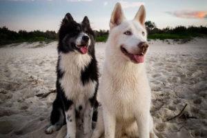Kikko Samsky and Katana Siberian Husky interview