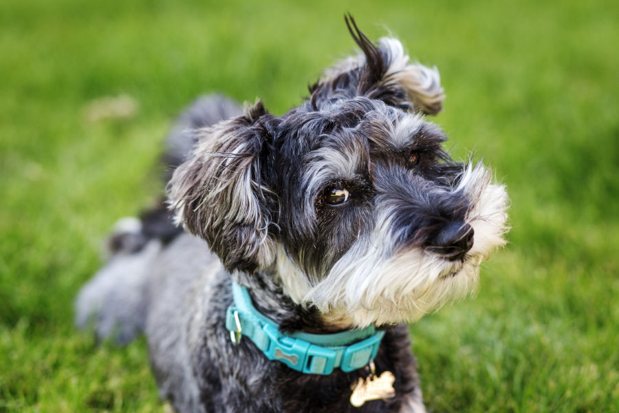 Schnauzer at the park (Photo: Adobe Stock)