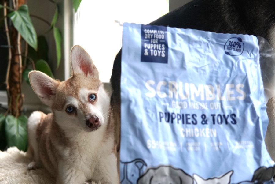 Alaskan Klee Kai Copper enjoyed Scrumbles (Photo: helloBARK!)