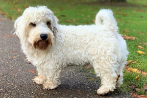 Sealyham Terrier Lifespan