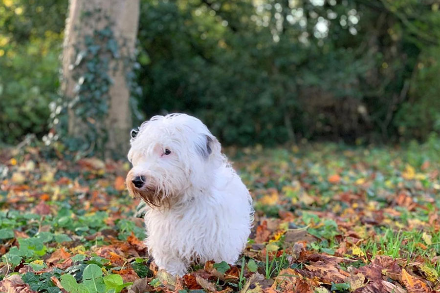 Sealyham Terriers (Photo: @sealyhamadventurers / Instagram)