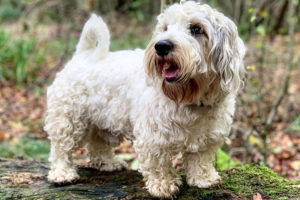 Do Sealyham Terriers shed?