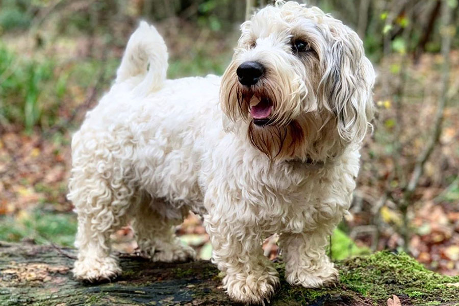 Sealyham Terrier (Photo: @sealyhamadventurers / Instagram)