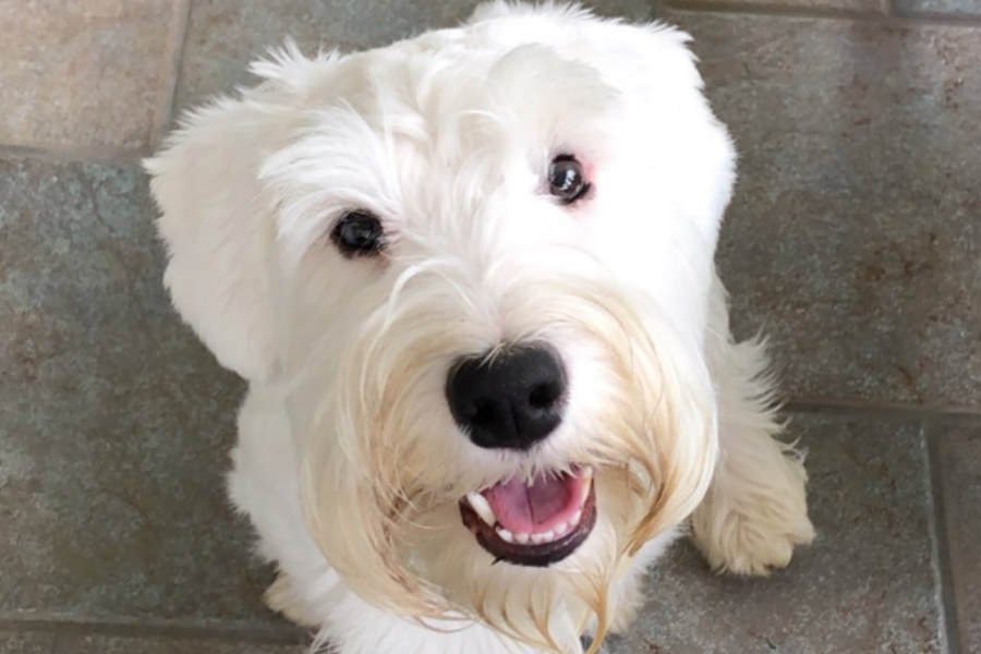 Sealyham Terrier dog Allie (Photo: @sealygram / Instagram)