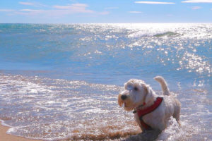 Eddie the Sealyham Terrier Questions and Answers