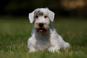 Are Sealyham Terriers hypoallergenic?