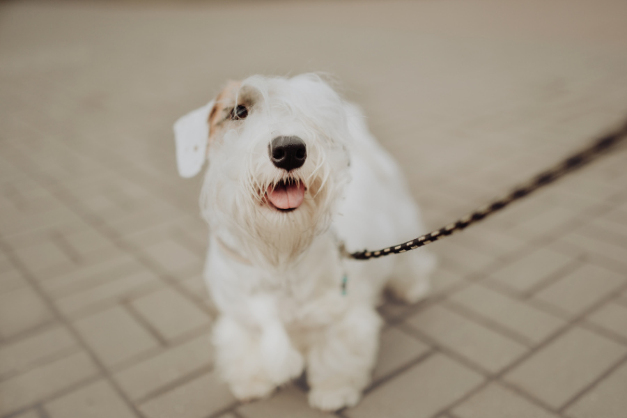 Sealyham Terrier on a leash (Photo: Adobe Stock)