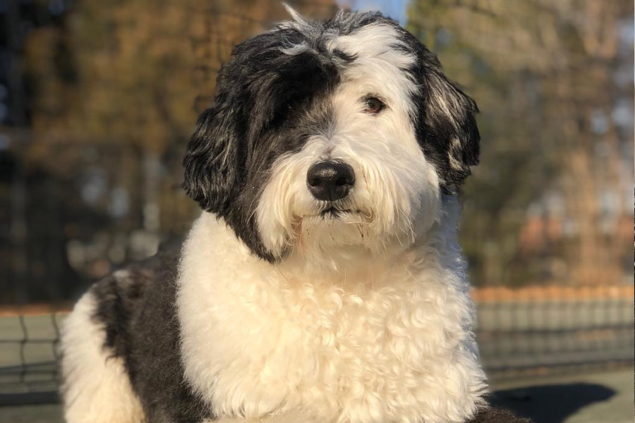 Bear the Sheepadoodle (Photo: @sheepadoodlebear)