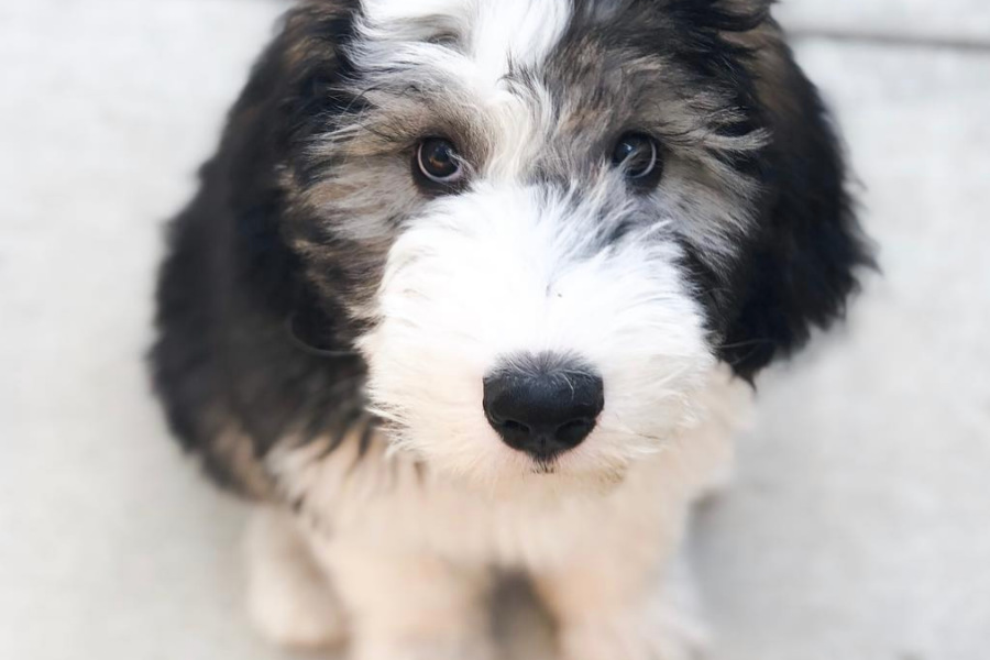 Baby Bertie the Sheepadoodle (Photo: @sheepadoodlebertie / Instagram)