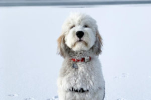 Sheepadoodle pros and cons