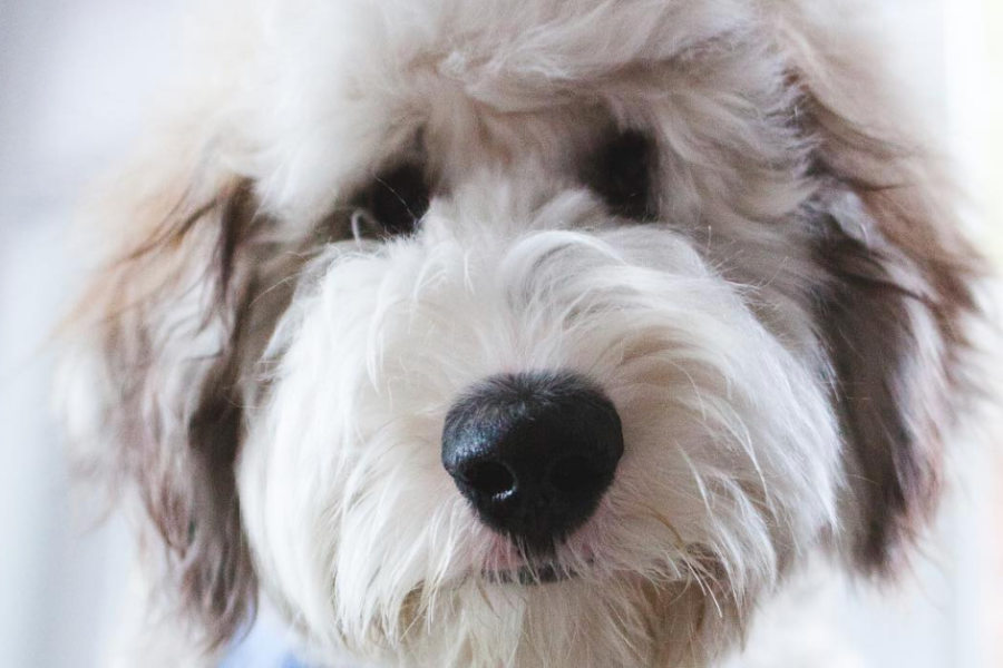 Bertie the Sheepadoodle (Photo: @sheepadoodlebertie / Instagram)