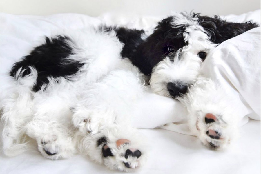 Walter the Sheepadoodle (Photo: walterthegentlegiant / Instagram)
