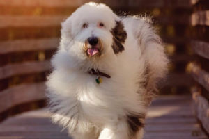 Zammy The Giant Sheepadoodle interview
