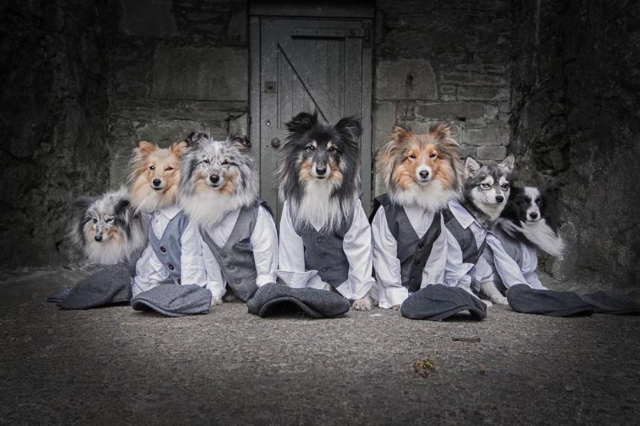 Shetland Sheepdogs Fenton, Thiago, Gimli, Mercy, Murphy and Jara and Alaskan Klee Kai Ghost (Photo: Hobbit Paws / Instagram)