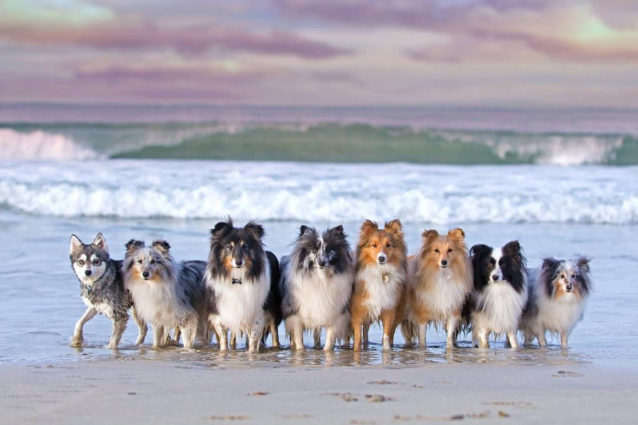 Shetland Sheepdogs Fenton, Thiago, Gimli, Mercy, Murphy and Jara and Alaskan Klee Kai Ghost (Photo: Hobbit Paws / Instagram)
