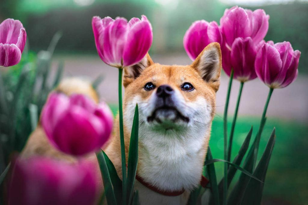 Shiba Inu looks at tulips (Photo: Adobe Stock)