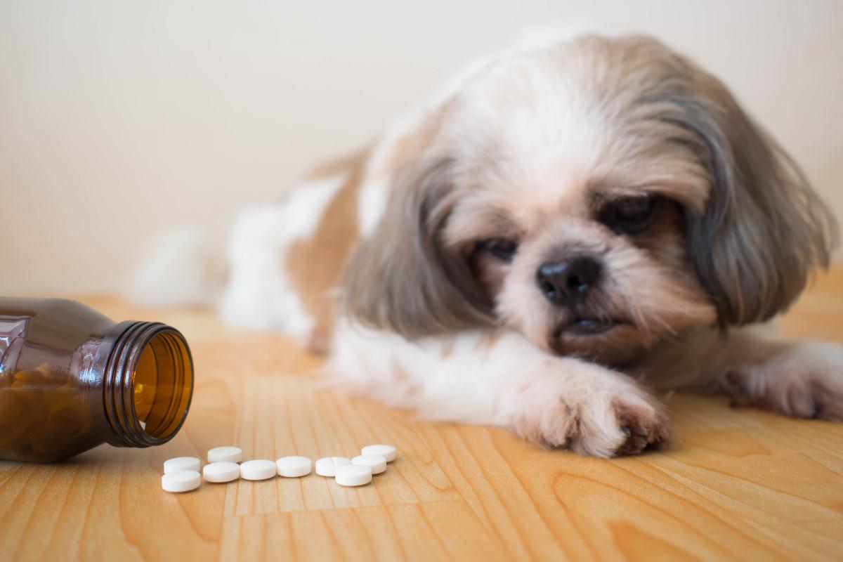 Shih Tzu stares at dog supplement (Photo: Adobe Stock)