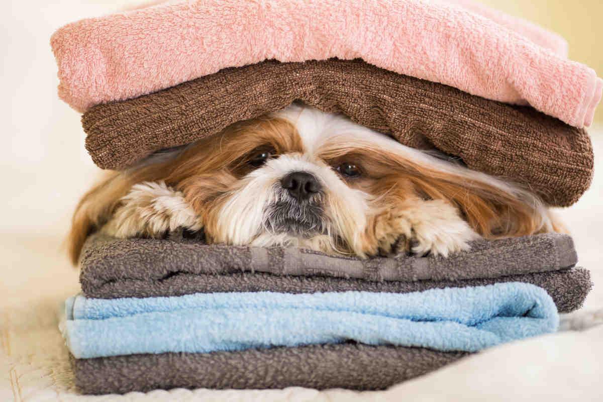 Funny Shih Tzu dog resting on the bed in bedroom (Photo: Adobe Stock)