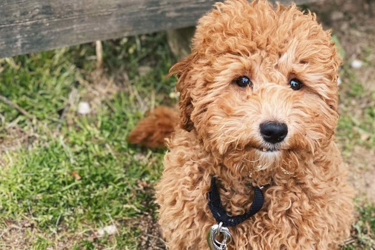 Ginger the Shihpoo (Photo: @shihpooginger / Instagram)