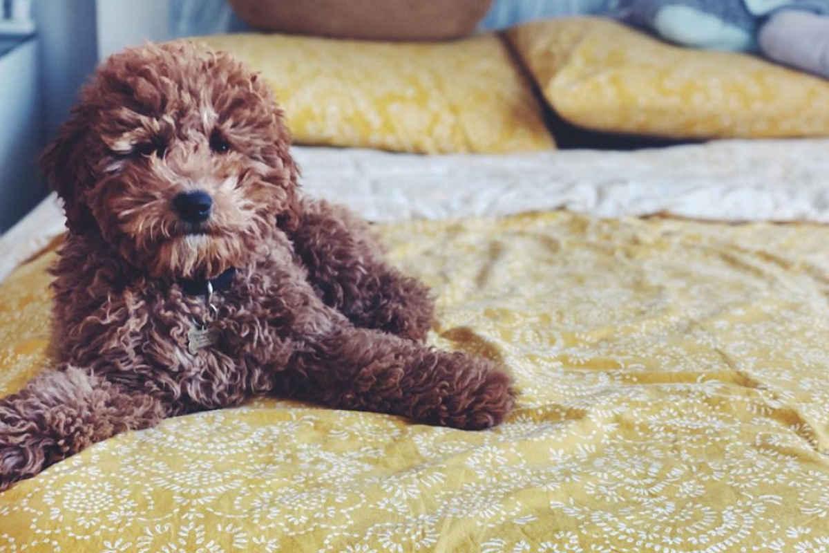 Ginger the Shihpoo (Photo: @shihpooginger / Instagram)