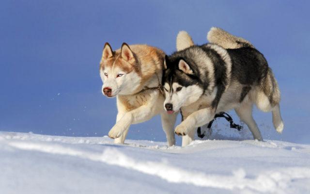 Alaskan Klee Kai vs Husky