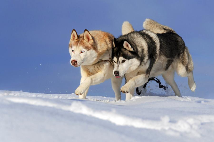 Australian Shepherd Husky Mix - helloBARK!