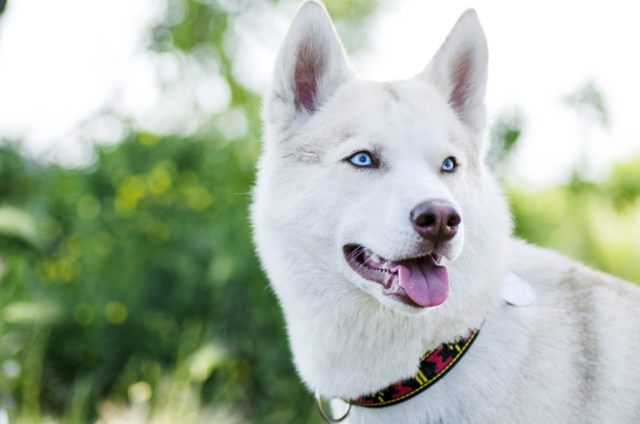 Beautiful Siberian Husky with blue eyes in the forest on a sunny day (Photo: Adobe Stock)