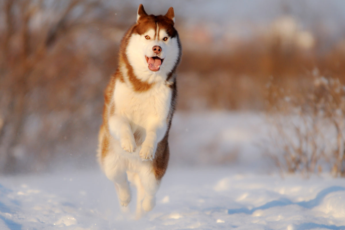 Siberian Husky running in the snow (Photo: Adobe Stock)
