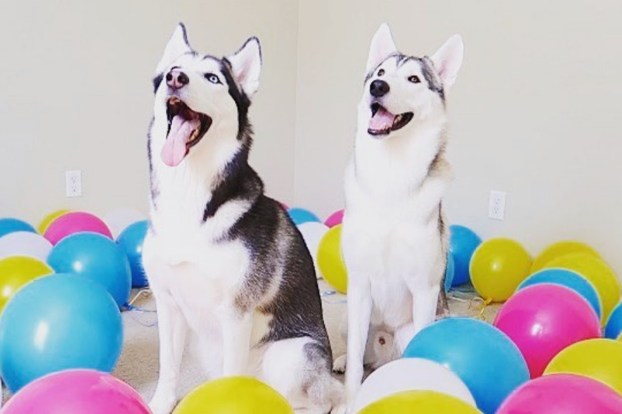 Siberian Huskies Hila and Britney Spears (Photo: Sixty Formula / Instagram)